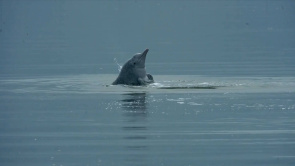 Rare Chinese white dolphins spotted in coastal waters off E China