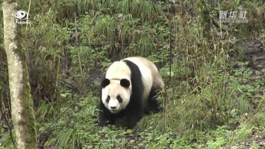 Why do pandas need to be reintroduced? | Pandaful Q&A